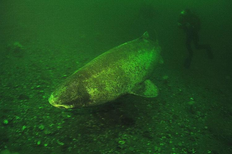 Photo © Jeffrey Gallant | GEERG.ca vía Greenland Shark Research